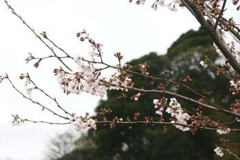 Sakura_0330c1