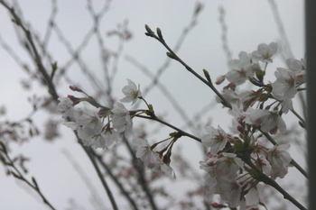 Sakura_0330e1