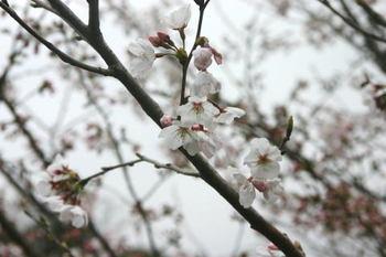 Sakura_d1