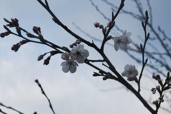 Sakura_0330a1