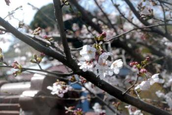 Sakura_0401a1