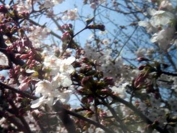 Sakura_0401b1
