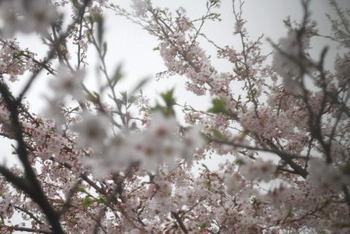 Sakura_0407b1