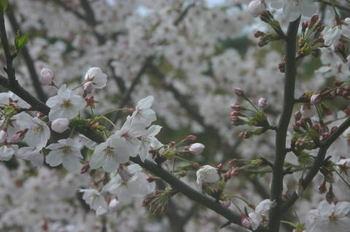 Sakura10401a